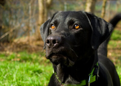 Black Labrador dog with green collar at a wooded lake.