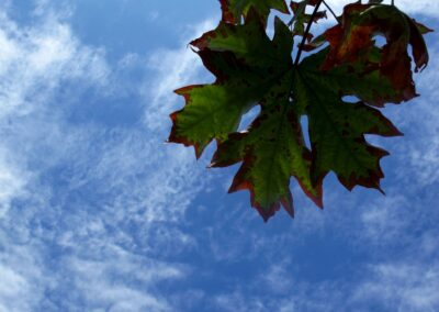 Blue sky and green maple leaf.